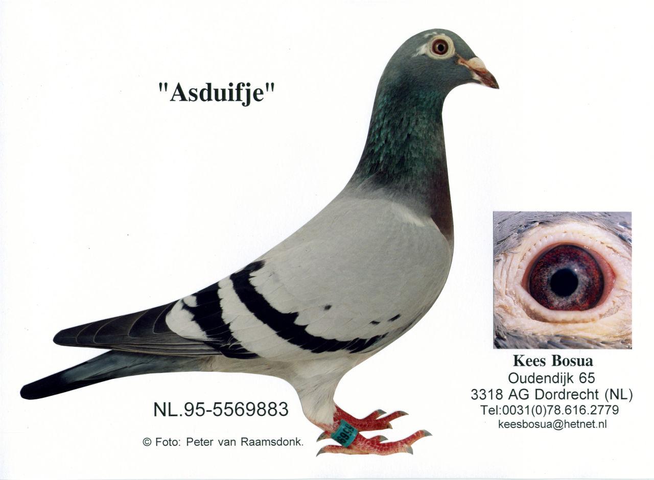 Het Asduifje