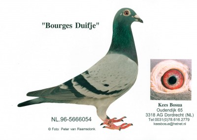 Bourges Duifje