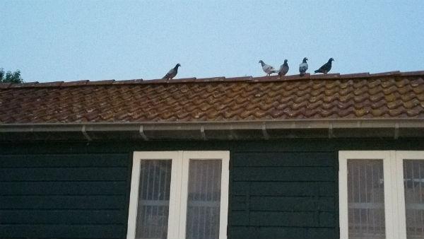 vreemde duiven