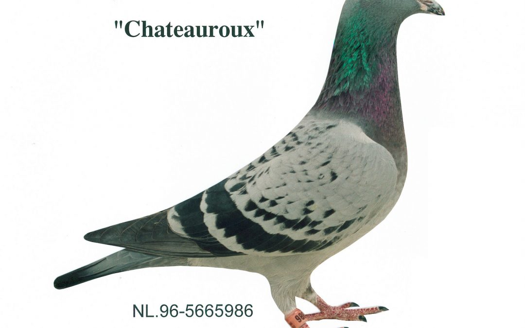 """Chateauroux duifje"""