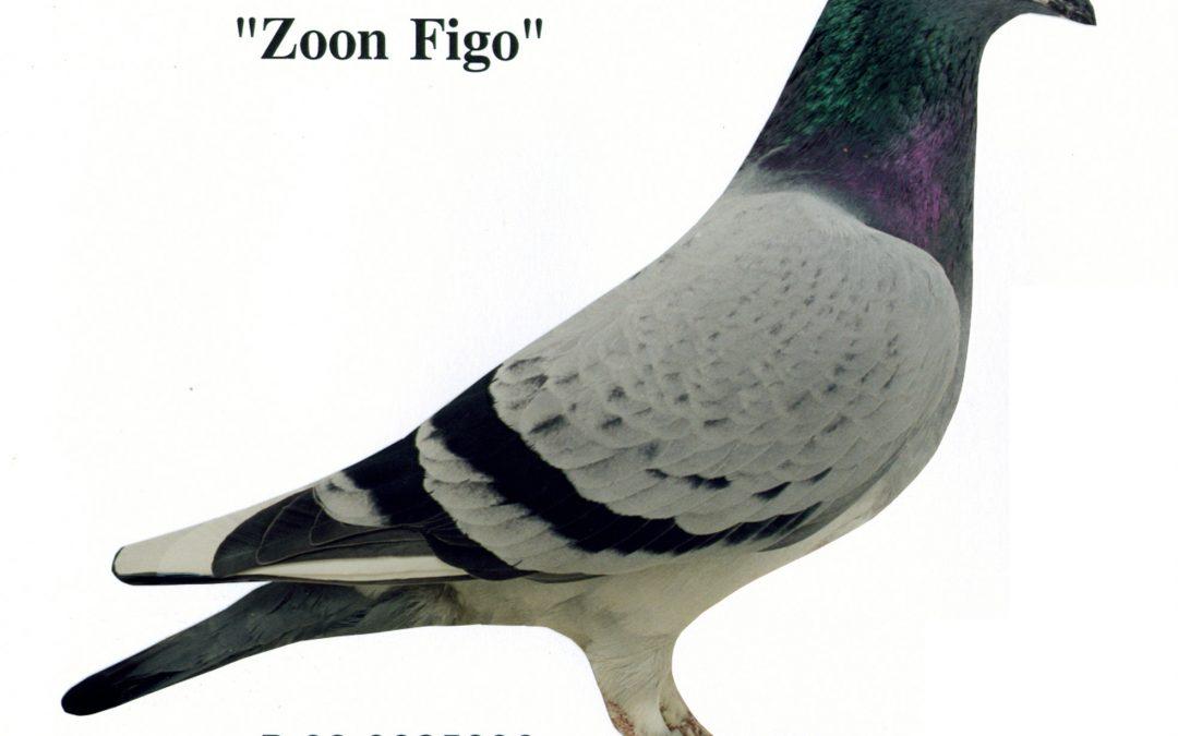 """""""Zoon Figo"""""""